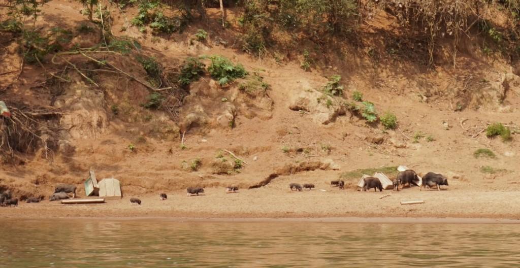 Mekong pigs
