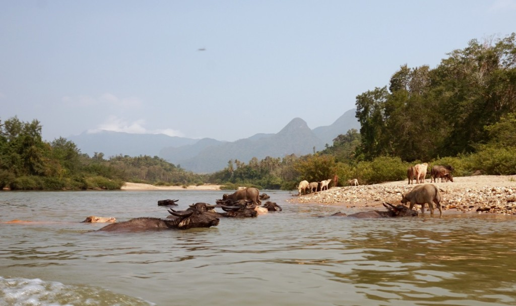 Mekong buffaloes