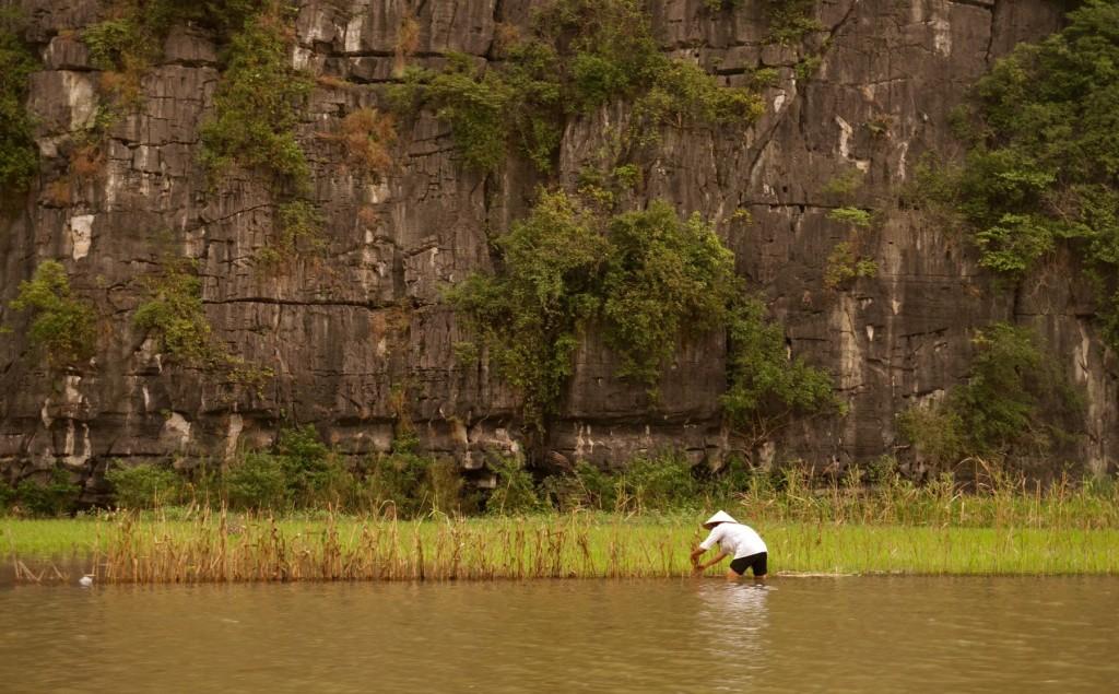 Tam Coc rice farmer
