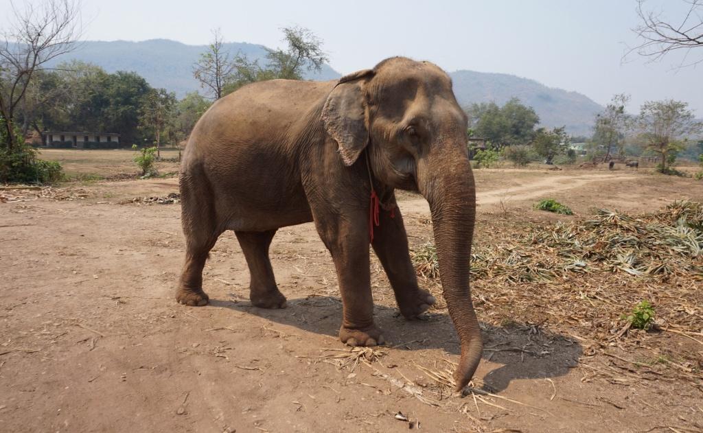 Elephant - EW