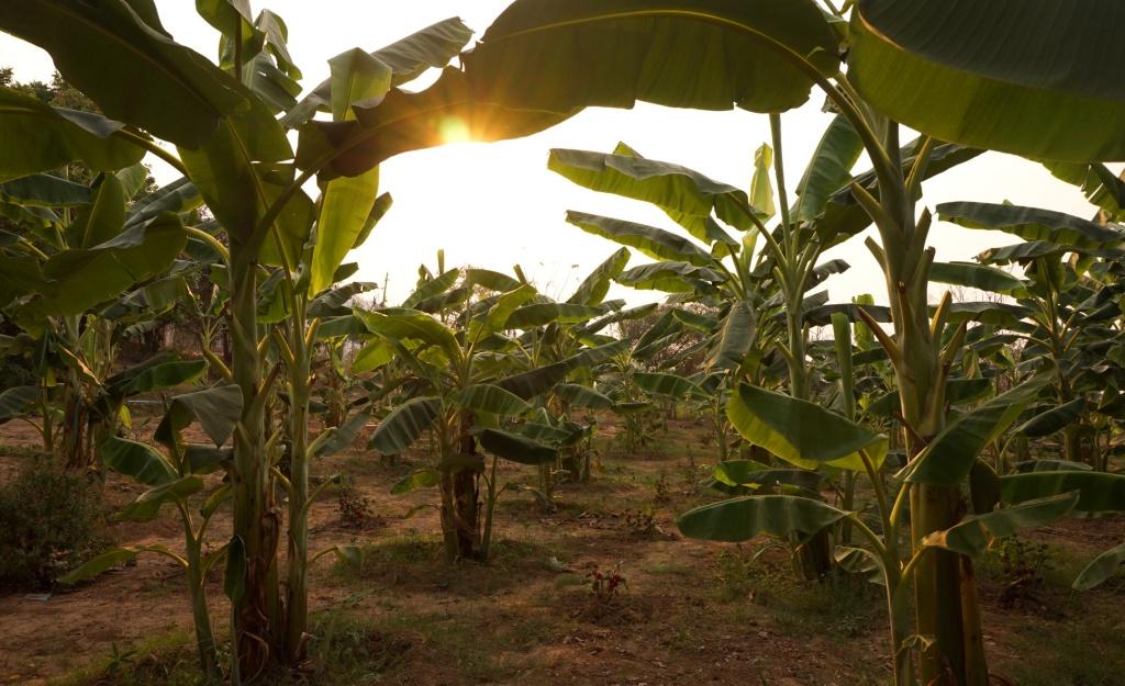 EW's own banana plantation
