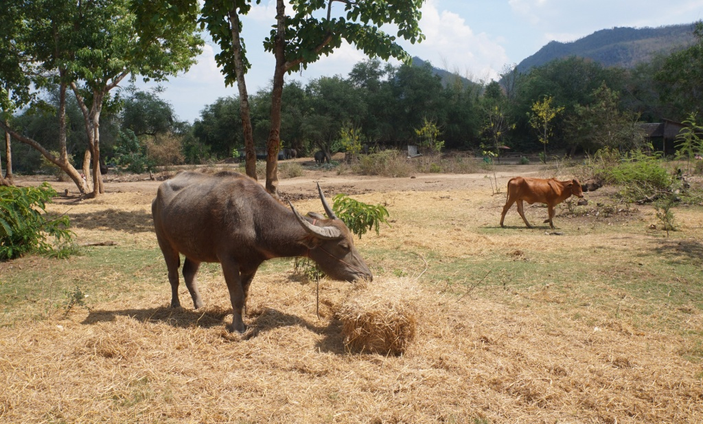 Buffalo and cow - ElephantsWorld